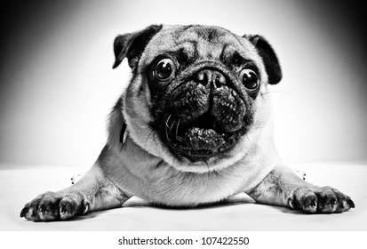 Black and white closeup portrait of a pug with large staring protruding eyes and a cute frown lying facing the camera