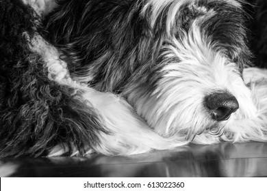 Black and white closeup shot of old English sheepdog's face