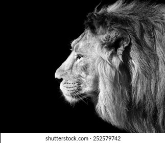 Black and white closeup side face portrait of an Asian lion, isolated on black background. King of beasts. Wild beauty of the biggest cat. The most dangerous and mighty predator of the world.