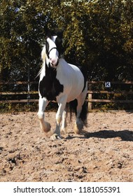 Black and White Cob Gelding Horse Cantering Free Lunging