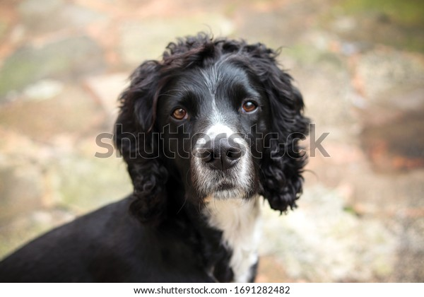 Black and white cocker spaniel dog
