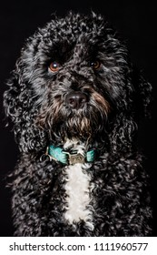 black and white cockerpoo on a black background