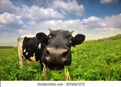 black and white coe close up on fresh green meadow, chewing cow fisheye on green lawn, big cow`s face close up,