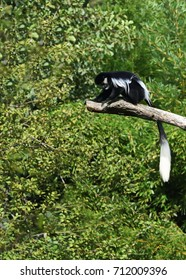 Black and white colobus monkey (Colobus guereza) sitting high on the branch