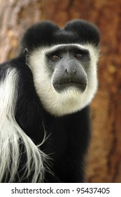 A black and white colobus monkey looking forward