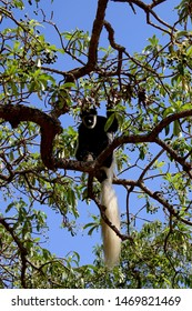 Black and White Colobus Monkey in tree in Arusha National Park