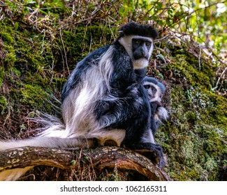 Black and White Colobus Monkeys, mother and baby, staring intently to the front. The pair are bonding, cuddled close together. Colobus guereza kikuyuensis. Equatorial Kenya, Aberdare Ranges, Africa.