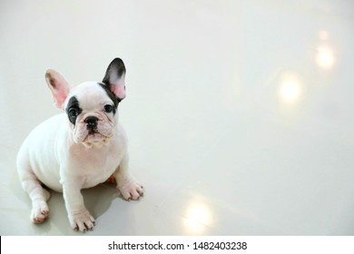 Black & white color of French bulldog puppy is sitting on the grey color tile floor background with orange bokeh of light reflection on selective focus.