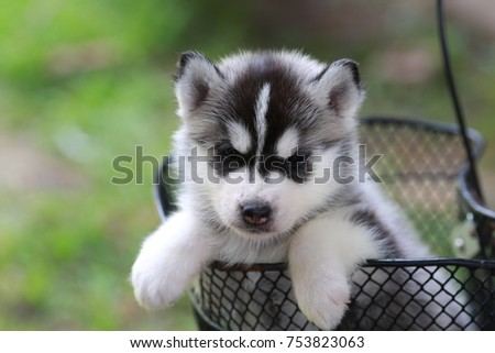 Black White Color Siberian Husky Puppy Stock Photo Edit Now
