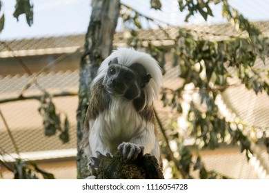 Black and white color small monkey Oedipus Tamarin in the zoo, seating on the tree and looking in tothe camera. Order: Primates, Family: In-Game. Pinch monkey.