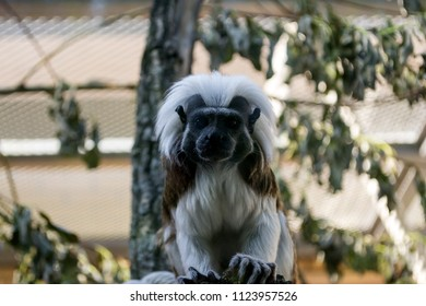 Black and white color small monkey Oedipus Tamarin, seating on the tree and looking. Pinch monkey.
