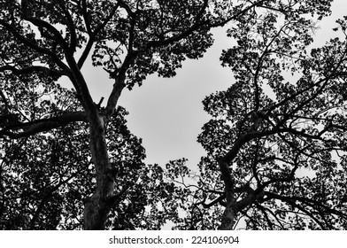 Black and White color with spreading branches of trees