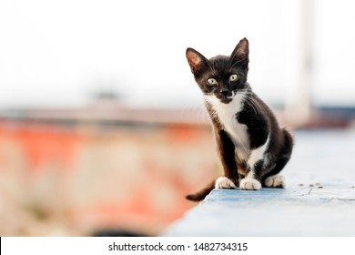 The black and white colored, cute, small feral (stray) cat looking at camera. Feral kittens can be trapped and socialized then adopted into a home. The age at which a kitten becomes difficult.