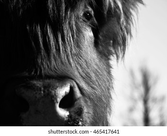 Black and White, Cow