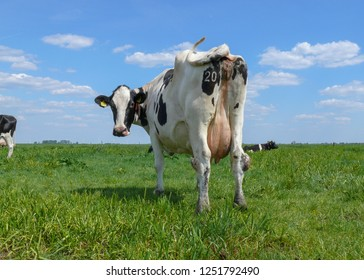 Black and white cow from behind, number on buttock, swinging tail, under a blue sky with sheep clouds.