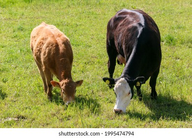 Black and white cow with brown calf while grazing