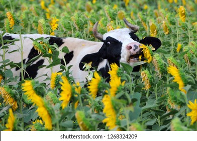 Black and white cow eats sunflowers