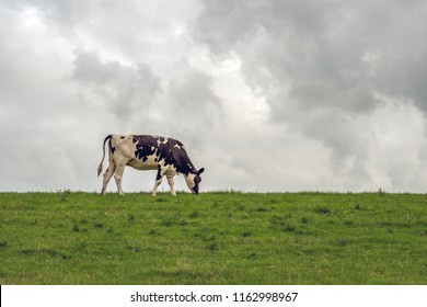 The black and white cow grazes all alone at the top of a Dutch dike. It is an evening in the summer season. The sky is cloudy.