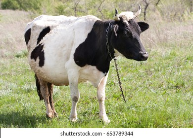 Black and white cow grazes on a meadow in the village