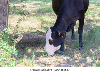 black and white cow grazing on green grass under trees