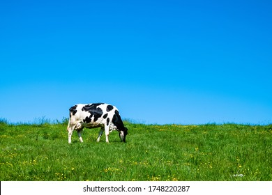 A black and white cow grazing on the pasture during daytime