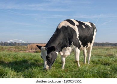 Black and white cow, heifer, in the Netherlands standing on green grass in a meadow, pasture, with at the background trees, reed, a bridge and a blue sky.