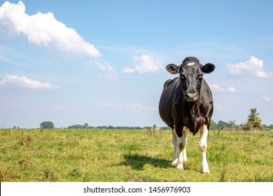 A black and white cow, looking angry, with blades of grass in the beak, the Friesian Holstein, in a pasture under a blue cloudy sky and a distant straight horizon behind.