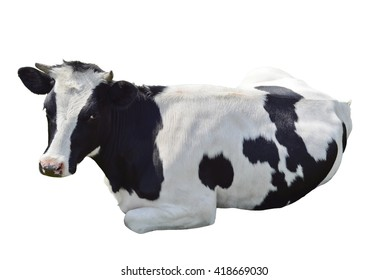 Black and white cow lying isolated on a white background. Black and white cow close up. Farm animal.