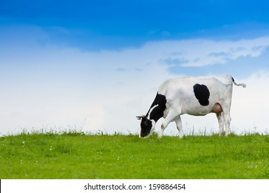 Black and white cow on clean sky and green field eating grass
