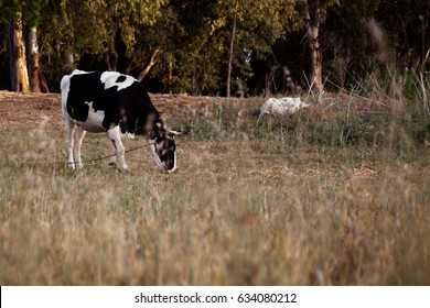 black and white cow on a field