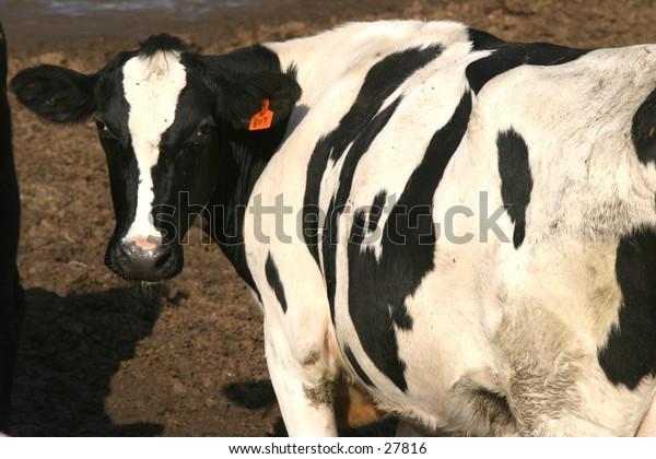 a black and white cow watches as I take its photograph
