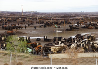 Black and white cows crowded in a muddy feedlot,Central valley, California