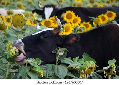 Black and white cows in the field of sunflowers
