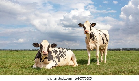 Black and white cows, frisian holstein, in a pasture one cow standing upright the other one lying down chewing and mooing under a blue sky and a straight horizon.