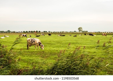 Black and white cows graze in the Dutch pasture as seen from the reed-covered side. In the background is an embankment and the edge of a small village in North Brabant. It is in the end of summer.