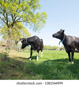 black and white cows near farm in spring meadow near gelderse vallei between leusden and barneveld in the netherlands