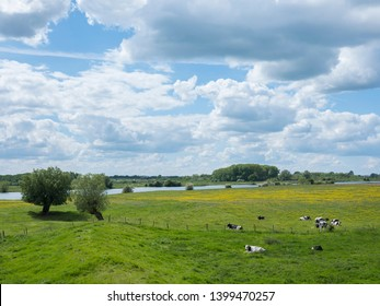 black and white cows near willows in dutch floodplains of river lek near utrecht in the netherlands on spring day