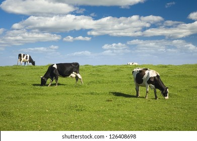 Black and white cows on green meadow