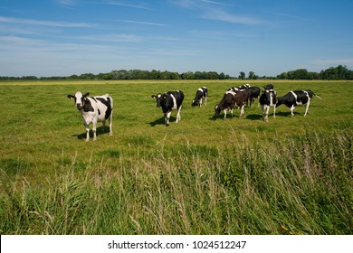 black and white cows on a meadow in the wesermarsch at a sunny summer day