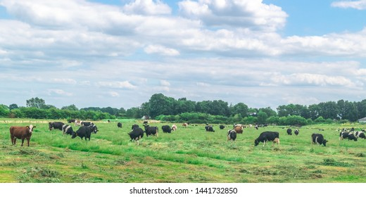 Black and white Cows standing in a typical Dutch polder landscape