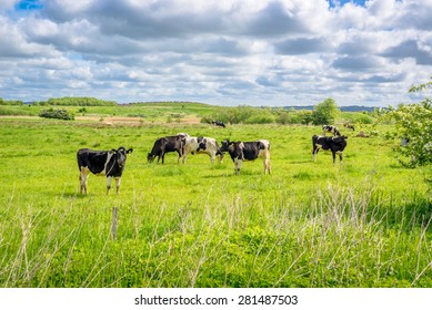 Black and white cows in a summer scenery