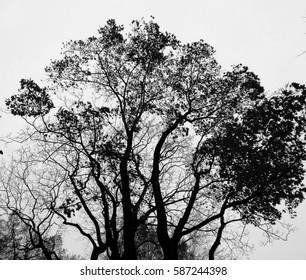 Black and white curly tree crown against milky sky