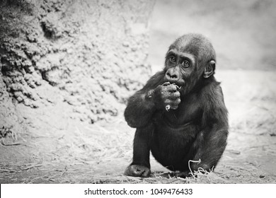 Black and White Cute Baby Gorilla Sitting, Front Facing, Watching