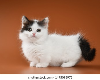 Munchkin Cat Images Stock Photos Vectors Shutterstock