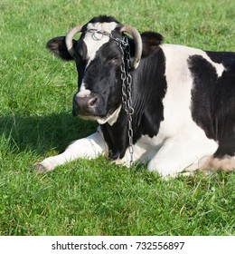 Black and white dairy cow