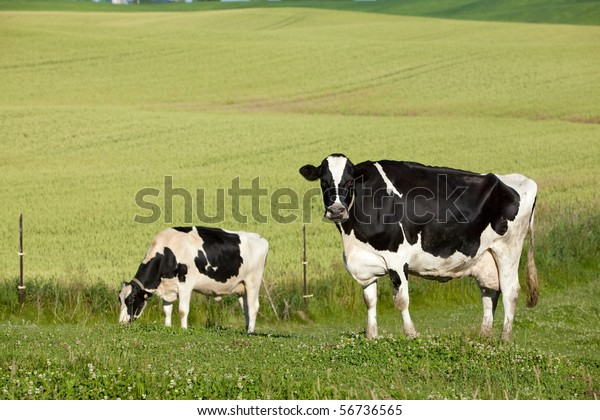 Black White Dairy Jersey Cow Pasture Stock Photo Edit Now 56736565
