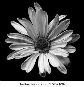 Black and white daisy macro photo