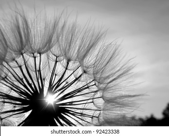 Black and white dandelion flower background, extreme closeup with soft focus.