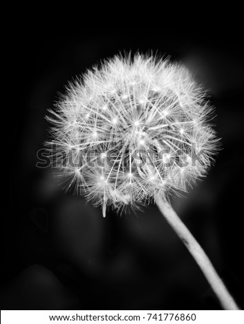 Black white dandelion flower make wish stock photo edit now black and white dandelion flower make a wish and blow the seed pods to spread mightylinksfo