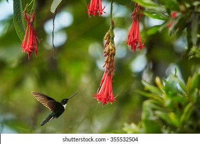 Black and white with dark green back  hummingbird Collared Inca Coeligena torquata isolated, hovering between red flowers with raindrops. Distant view, typical environment, Colombia forest.